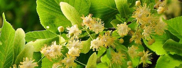 Вкус и цвет липового мёда