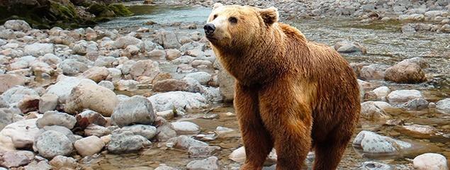 Медвежий жир: лечебные свойства и противопоказания, как принимать медвежий жир наружно и внутрь,  медвежий жир
