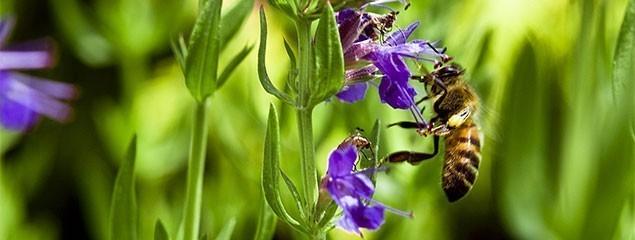 Иссоп – лечебные свойства и противопоказания: описание видов и сортов растения, правила сбора и выращивания
