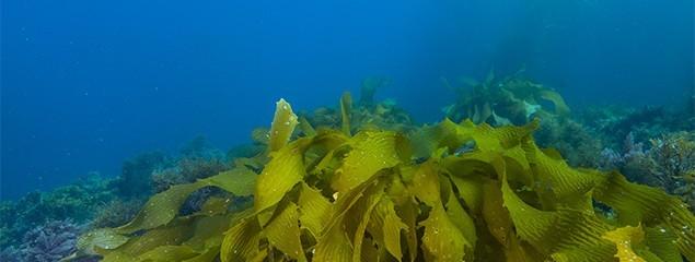 Сушеная ламинария (сухая морская капуста) – полезные свойства, водорослевое обертывание, маска для лица из ламинарии