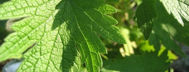 Пустырник (трава) польза и вред – 7 полезных свойств и противопоказания